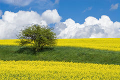 Blooming yellow canola field. A field of blooming yellow canola plants on a bright spring day Royalty Free Stock Photo