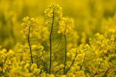 Blooming yellow canola field Royalty Free Stock Images