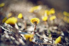 Blooming yellow cheerful flowers coltsfoot stock photos