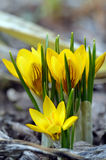 Blooming yellow crocuses. Yellow crocuses blooming in the garden in early spring Stock Photography