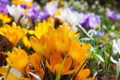 Blooming yellow crocuses Royalty Free Stock Photography