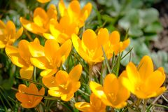 Blooming yellow crocuses under bright sunlight in early Spring forest stock photo