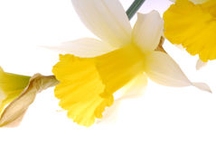 Blooming yellow daffodil Stock Photos