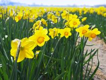 Blooming yellow daffodils royalty free stock photography