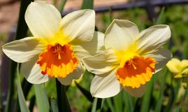 Blooming Yellow Daffodils flower, Narcissus Blossom Narcissus pseudonarcissus, knows also as Wild Daffodil or Lent lily in. Blooming Yellow Daffodils flower stock photo