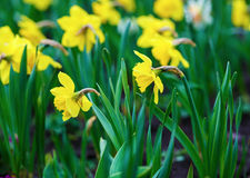 Blooming yellow daffodils Stock Photo