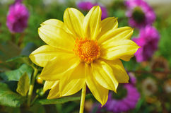 Blooming yellow dahlias in the garden Stock Image
