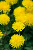 Blooming yellow dandelions Stock Photos