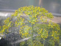 Blooming yellow dill inflorescence stock images