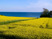 Blooming Yellow Field - Clean Future Royalty Free Stock Photo