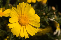 Blooming yellow flower Royalty Free Stock Images