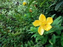 Blooming yellow flower on a green background of leaves stock photography