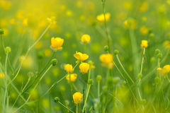 Blooming yellow flower Royalty Free Stock Photography