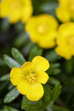 Blossom of yellow aconite flower Royalty Free Stock Photos