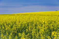 Blooming yellow flowers on the field against the blue sky Royalty Free Stock Photos