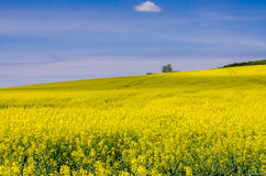Blooming yellow flowers on the field against the blue sky Stock Photos