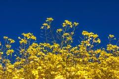 Blooming yellow flowers field of beautiful Swiss landscape stock image