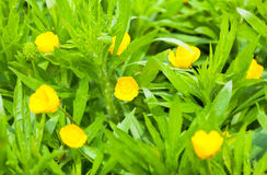 Blooming yellow flowers in grass Royalty Free Stock Photo
