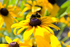 Blooming yellow flowers rudbeckia Stock Image