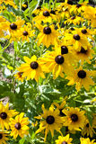 Blooming yellow flowers rudbeckia Royalty Free Stock Photography