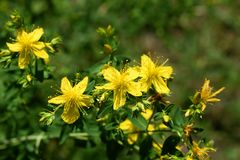 Yellow flowers of St John`s-wort - Hypericum perforatum royalty free stock image