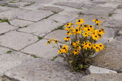 Blooming yellow flowers on  stone pavement. Royalty Free Stock Photography