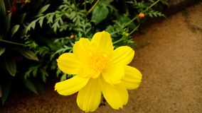 Yellow blooms royalty free stock photo