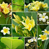 Blooming yellow Frangipani flowers Stock Image