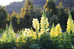 Blooming yellow gladioluses on the meadow at the sunset. Travel to Chiangmai, Thailand. Blooming yellow gladioluses on the meadow at the sunset Stock Photos