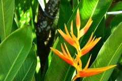 The Yellow Heliconia in the backyard stock photos