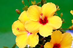 Blooming Yellow Hibiscus. Bright yellow blooming summer hibiscus with three flowers Royalty Free Stock Photos