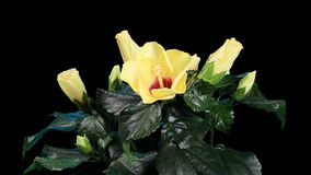Blooming yellow Hibiscus flower buds ALPHA matte, (Hibiscus Kyoto Yellow), FULL HD. stock footage