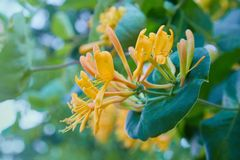 Lonicera japonica, known as Japanese honeysuckle and golden-and-silver honeysuckle royalty free stock photography