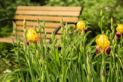 Blooming yellow iris flower in the park close up Stock Photo