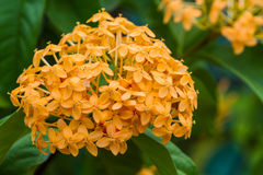 Blooming yellow Ixora flowers. Royalty Free Stock Image