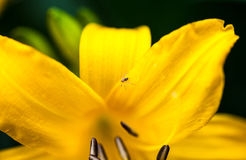 Blooming yellow lily flower with tiny spider Royalty Free Stock Image
