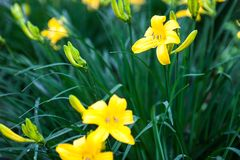 Blooming yellow lily flowers and lily buds Royalty Free Stock Images