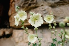Blooming mallow. Beautiful flowers of yellow mallow on the background of rocks royalty free stock photo