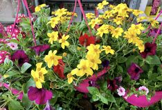 Blooming Yellow Margaritas Flowers in a Basket. Blooming Yellow Margaritas Flowers in a Hanging Basket Royalty Free Stock Photography