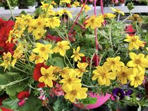 Blooming Yellow Margaritas Flowers in a Basket. Blooming Yellow Margaritas Flowers in a Hanging Basket Stock Image