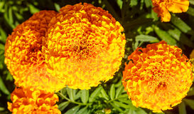 Blooming Yellow Marigolds Royalty Free Stock Images