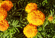 Blooming Yellow Marigolds Tagetes Royalty Free Stock Image