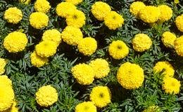 Blooming Yellow Marigolds Tagetes Royalty Free Stock Image