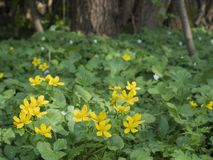 Blooming yellow marsh marigolds, bokeh background with forest tr. Ee and green ferns, spring afternoon Royalty Free Stock Images