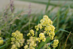 Blooming yellow meadow rue from close Stock Images