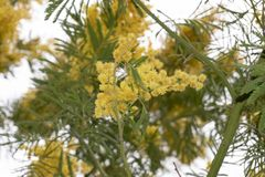 Blooming yellow mimosa on a tree. Detail stock photo