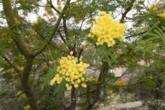 Blooming yellow mimosa on a tree. Detail stock photos