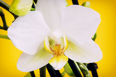 Blooming yellow orchid flowers with buds Royalty Free Stock Photography