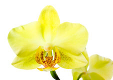 Blooming yellow orchid is  isolated on the white  background Stock Photos