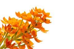 Blooming yellow Ornithogalum Dubium Royalty Free Stock Image